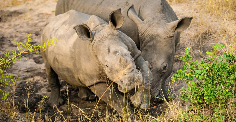 About the Rhino Horn Trade