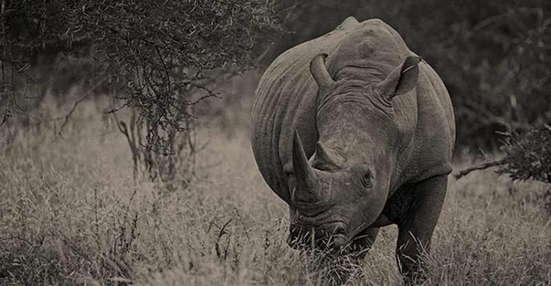 Rhino news at WildAid